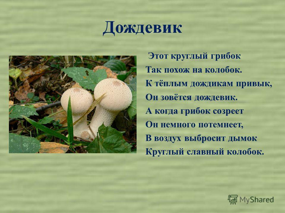 Дождевик Этот круглый грибок Так похож на колобок. К тёплым дождикам привык, Он зовётся дождевик. А когда грибок созреет Он немного потемнеет, В воздух выбросит дымок Круглый славный колобок.