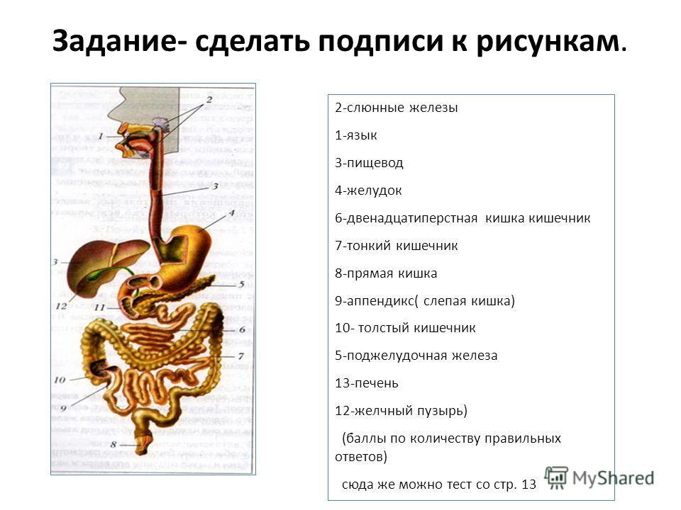Задание- сделать подписи к рисункам. 2-слюнные железы 1-язык 3-пищевод 4-желудок 6-двенадцатиперстная кишка кишечник 7-тонкий кишечник 8-прямая кишка 9-аппендикс( слепая кишка) 10- толстый кишечник 5-поджелудочная железа 13-печень 12-желчный пузырь)