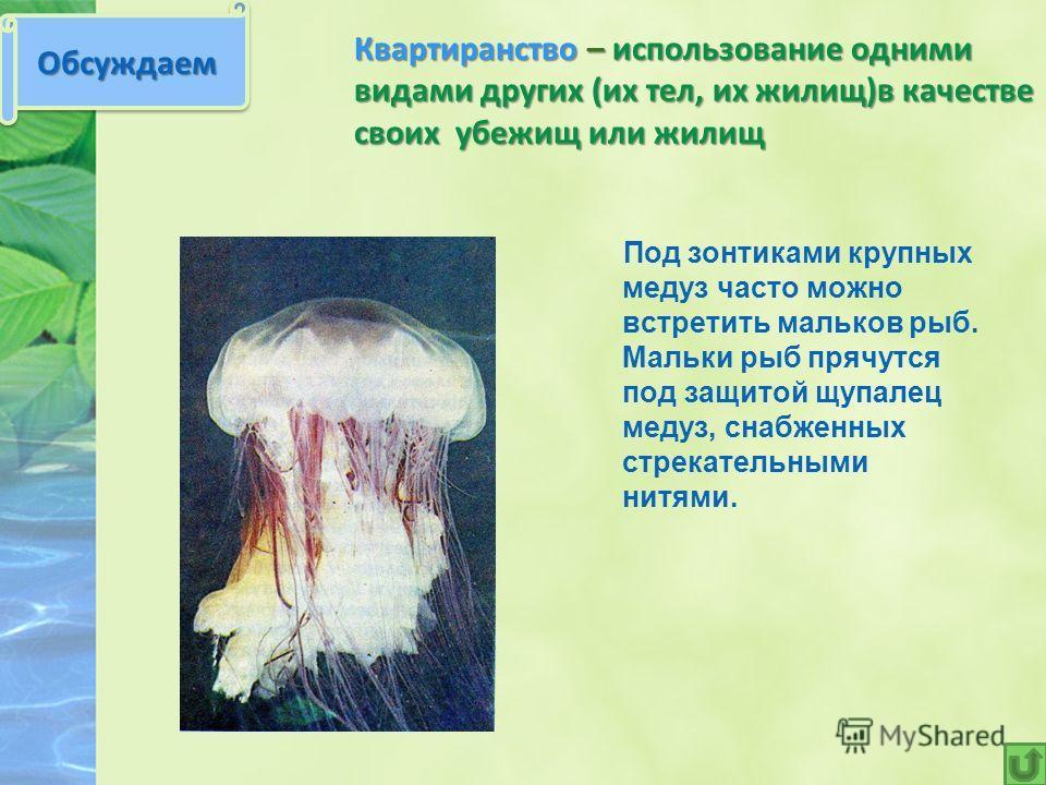 Квартиранство – использование одними видами других (их тел, их жилищ)в качестве своих убежищ или жилищ Под зонтиками крупных медуз часто можно встретить мальков рыб. Мальки рыб прячутся под защитой щупалец медуз, снабженных стрекательными нитями. Обс