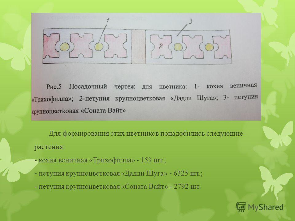 Для формирования этих цветников понадобились следующие растения: - кохия веничная «Трихофилла» - 153 шт.; - петуния крупноцветковая «Дадди Шуга» - 6325 шт.; - петуния крупноцветковая «Соната Вайт» - 2792 шт.