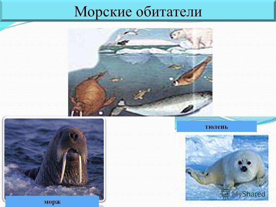 морж Морские обитатели тюлень