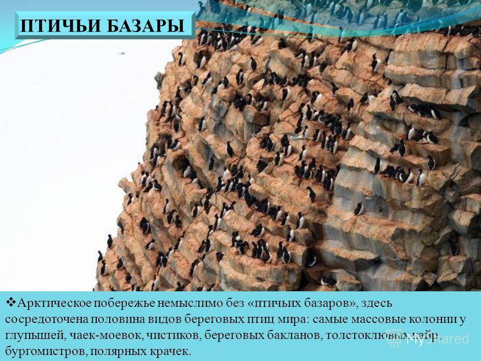 Арктическое побережье немыслимо без «птичьих базаров», здесь сосредоточена половина видов береговых птиц мира: самые массовые колонии у глупышей, чаек-моевок, чистиков, береговых бакланов, толстоклювых кайр, бургомистров, полярных крачек. ПТИЧЬИ БАЗА