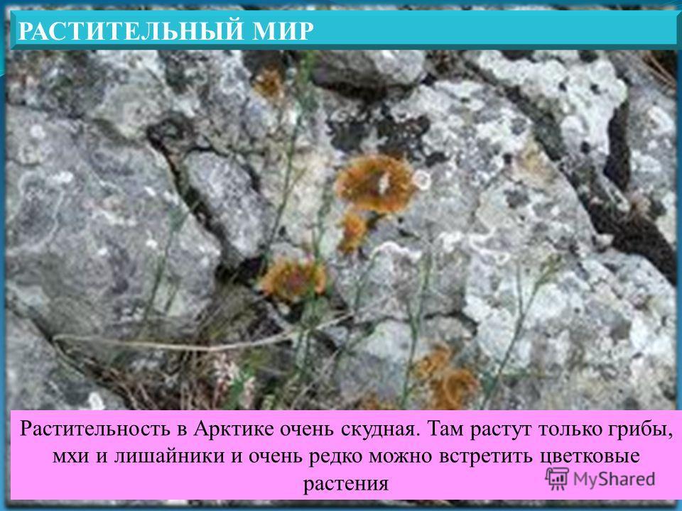 РАСТИТЕЛЬНЫЙ МИР Растительность в Арктике очень скудная. Там растут только грибы, мхи и лишайники и очень редко можно встретить цветковые растения