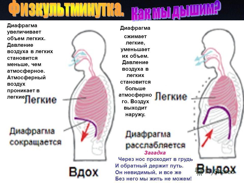 Загадка. Через нос проходит в грудь И обратный держит путь. Он невидимый, и все же Без него мы жить не можем! Диафрагма увеличивает объем легких. Давление воздуха в легких становится меньше, чем атмосферное. Атмосферный воздух проникает в легкие. Диа