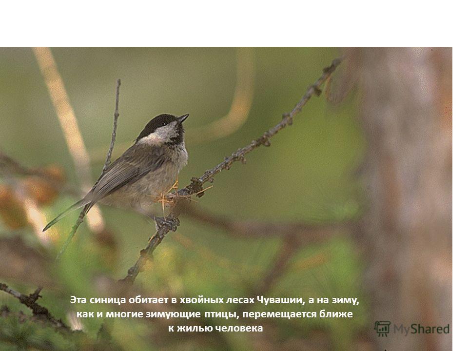 В…….. Ближайший родственник соловья – может подражать голосам более 30-ти видов птиц