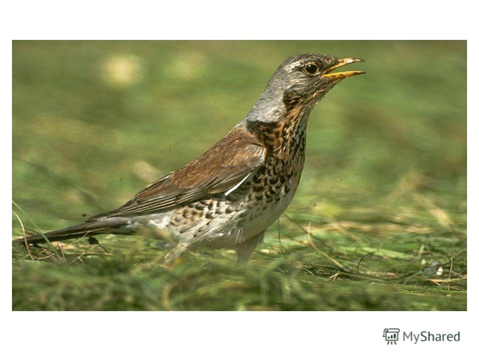 Г… ….. Эта птица – предок домашнего гуся. Встречается на территории Чувашии в период сезонных миграций: весной и осенью.