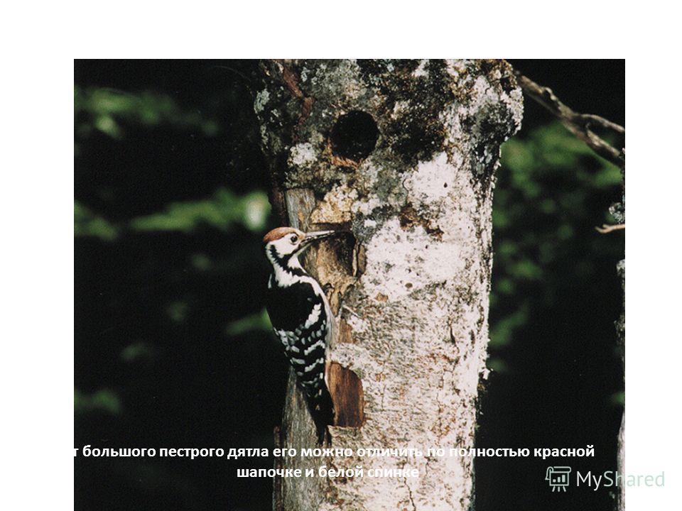 Б…… п…… д…. Добывая из под коры личинок насекомых, дятел «лечит» деревья, чем приносит очень большую пользу лесу.