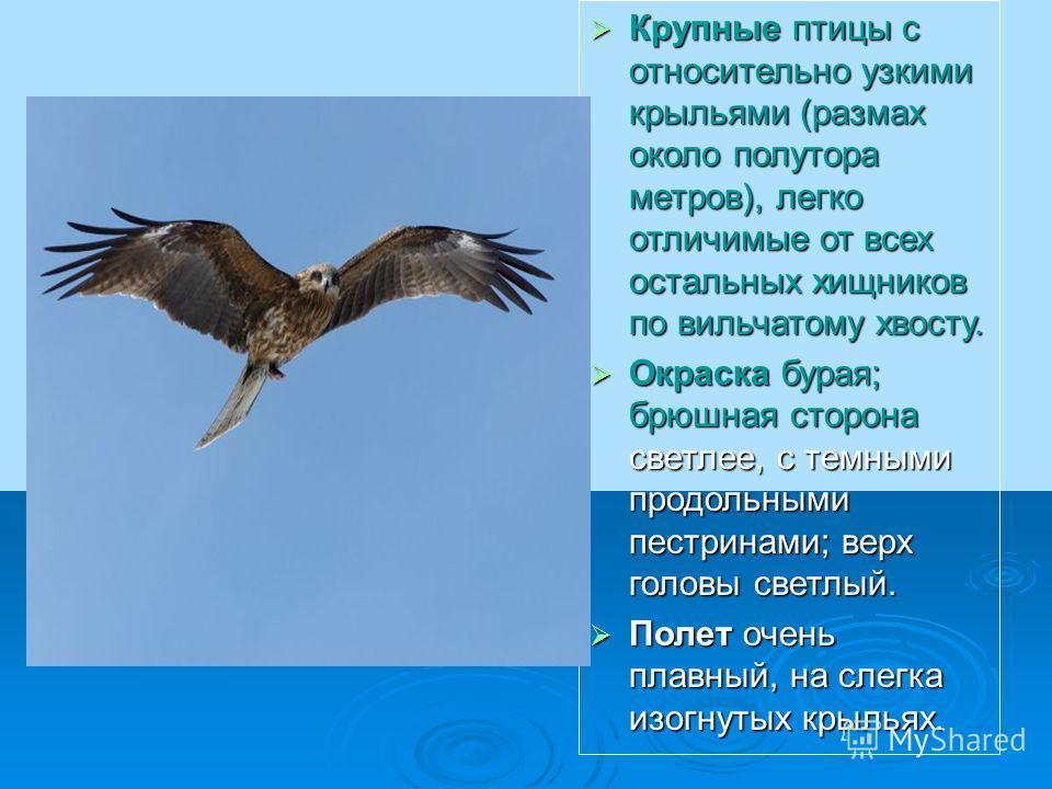 Крупные птицы с относительно узкими крыльями (размах около полутора метров), легко отличимые от всех остальных хищников по вильчатому хвосту. Крупные птицы с относительно узкими крыльями (размах около полутора метров), легко отличимые от всех остальн
