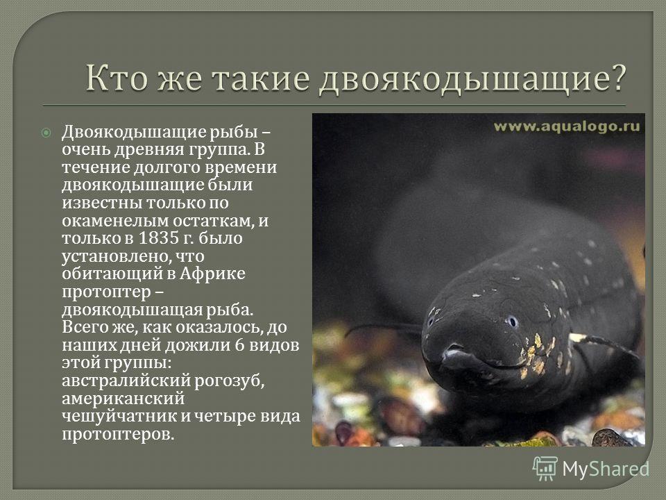 Двоякодышащие рыбы – очень древняя группа. В течение долгого времени двоякодышащие были известны только по окаменелым остаткам, и только в 1835 г. было установлено, что обитающий в Африке протоптер – двоякодышащая рыба. Всего же, как оказалось, до на
