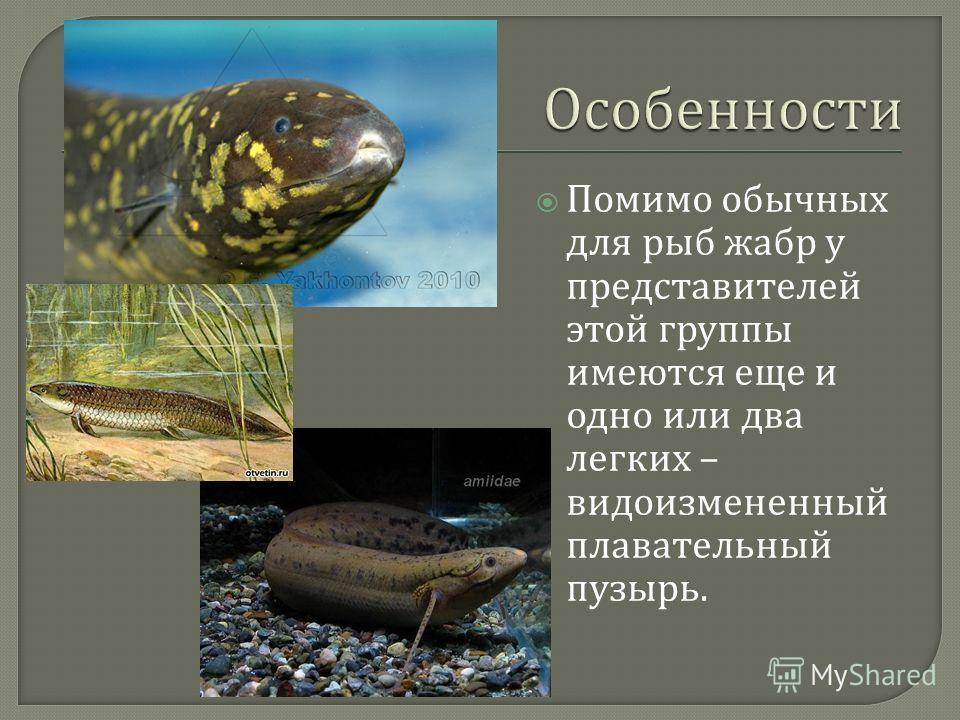 Помимо обычных для рыб жабр у представителей этой группы имеются еще и одно или два легких – видоизмененный плавательный пузырь.