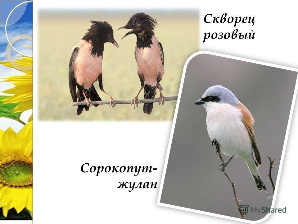 Сорокопут- жулан Скворец розовый