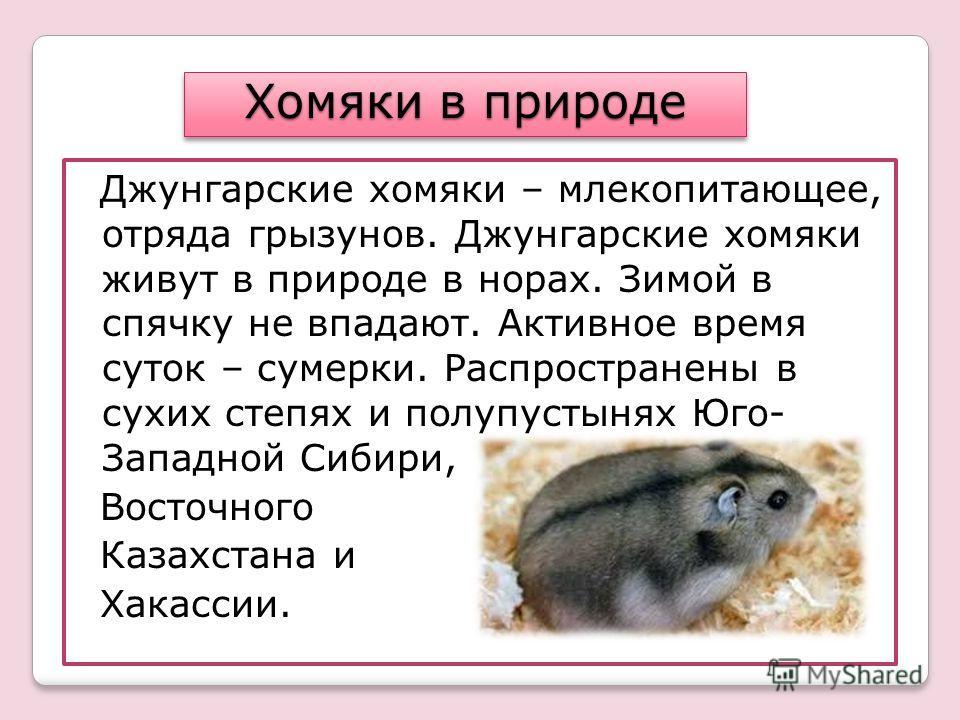 Джунгарские хомяки – млекопитающее, отряда грызунов. Джунгарские хомяки живут в природе в норах. Зимой в спячку не впадают. Активное время суток – сумерки. Распространены в сухих степях и полупустынях Юго- Западной Сибири, Восточного Казахстана и Хак
