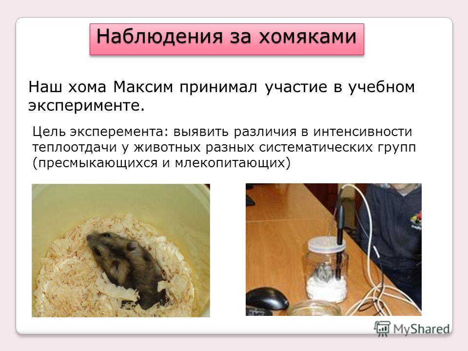 Наблюдения за хомяками Наш хома Максим принимал участие в учебном эксперименте. Цель эксперемента: выявить различия в интенсивности теплоотдачи у животных разных систематических групп (пресмыкающихся и млекопитающих)