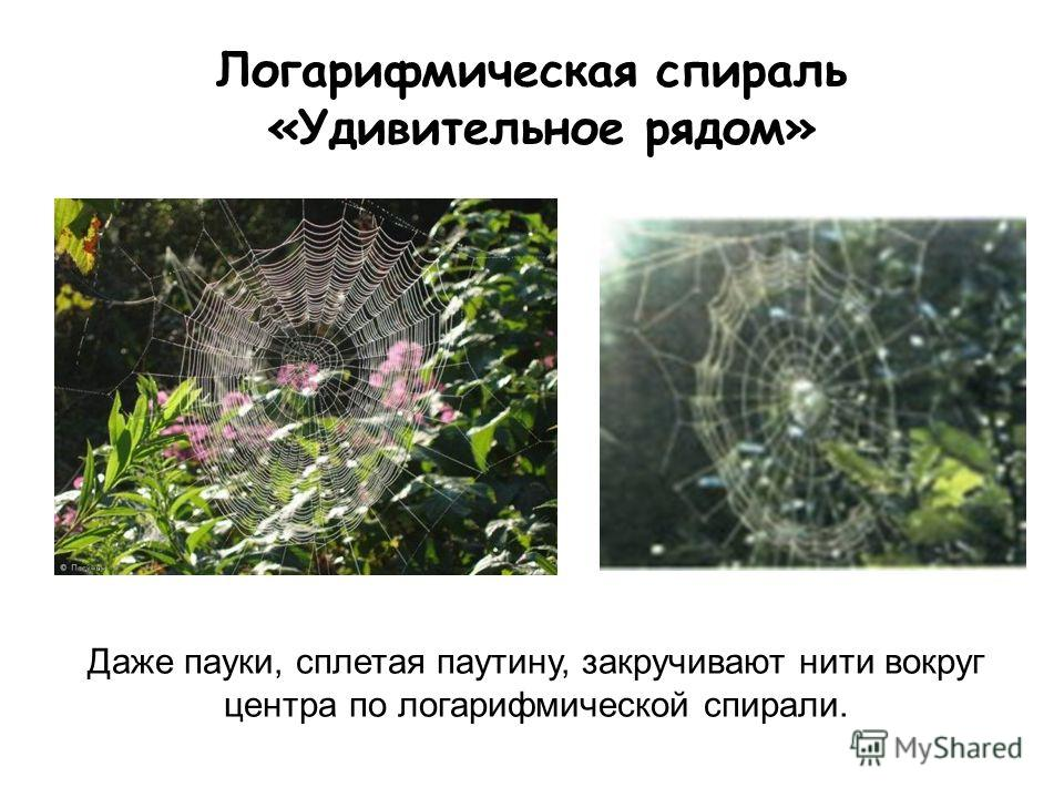 Логарифмическая спираль «Удивительное рядом» Даже пауки, сплетая паутину, закручивают нити вокруг центра по логарифмической спирали.
