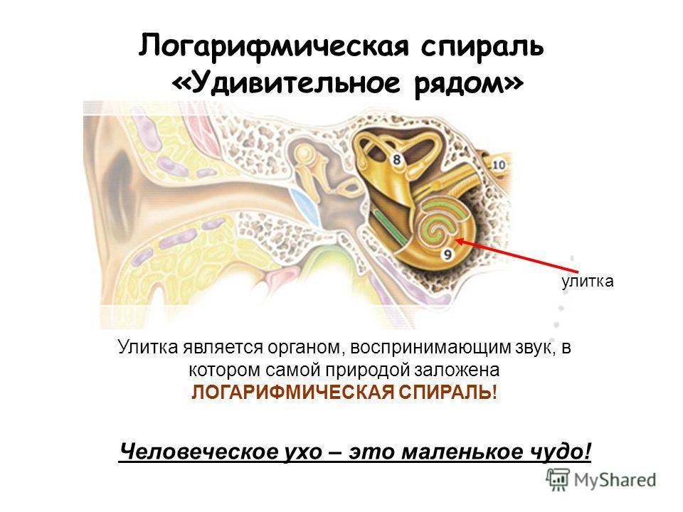 Логарифмическая спираль «Удивительное рядом» улитка Человеческое ухо – это маленькое чудо! Улитка является органом, воспринимающим звук, в котором самой природой заложена ЛОГАРИФМИЧЕСКАЯ СПИРАЛЬ!