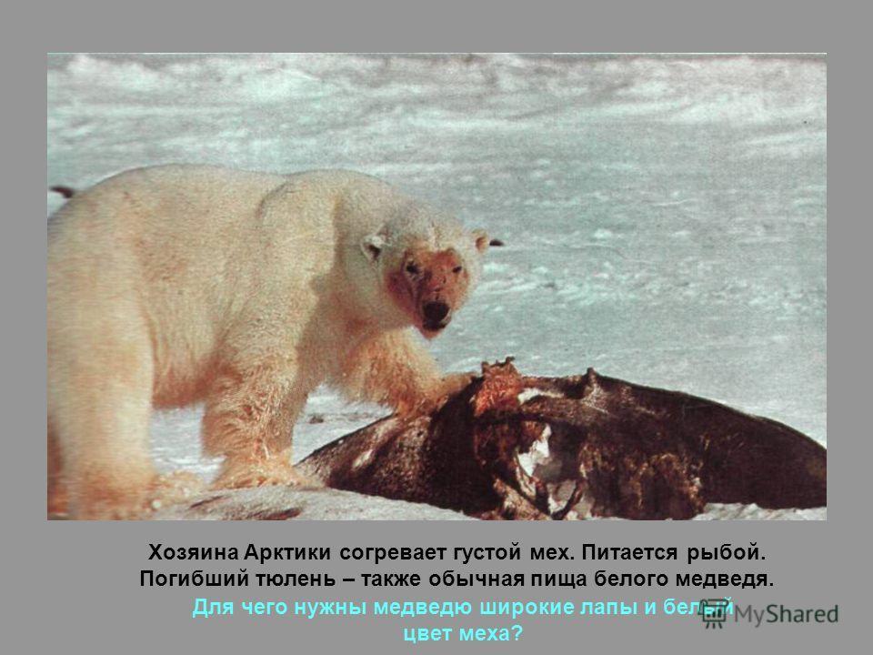 Хозяина Арктики согревает густой мех. Питается рыбой. Погибший тюлень – также обычная пища белого медведя. Для чего нужны медведю широкие лапы и белый цвет меха?