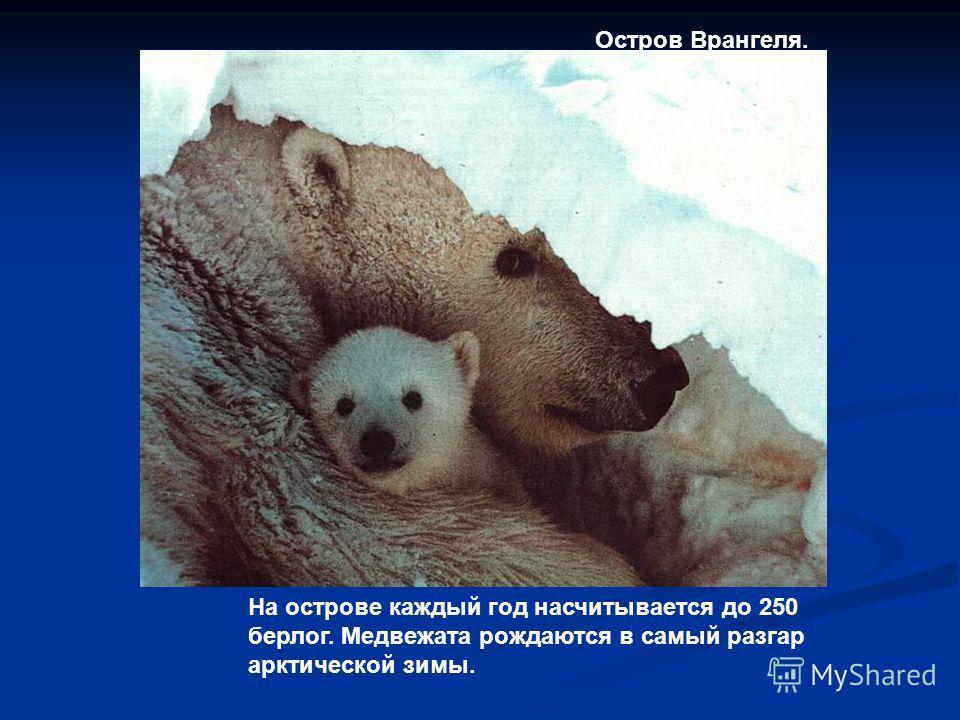 На острове каждый год насчитывается до 250 берлог. Медвежата рождаются в самый разгар арктической зимы. Остров Врангеля.