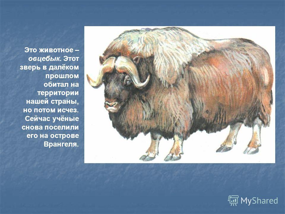 Это животное – овцебык. Этот зверь в далёком прошлом обитал на территории нашей страны, но потом исчез. Сейчас учёные снова поселили его на острове Врангеля.