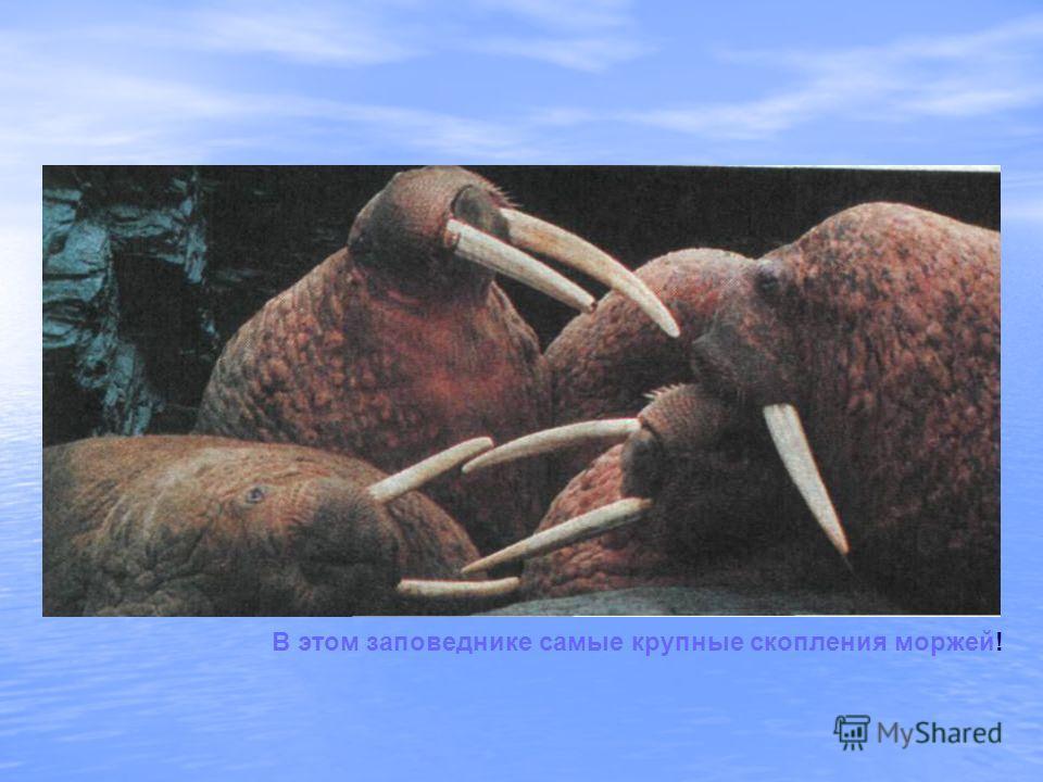 В этом заповеднике самые крупные скопления моржей!