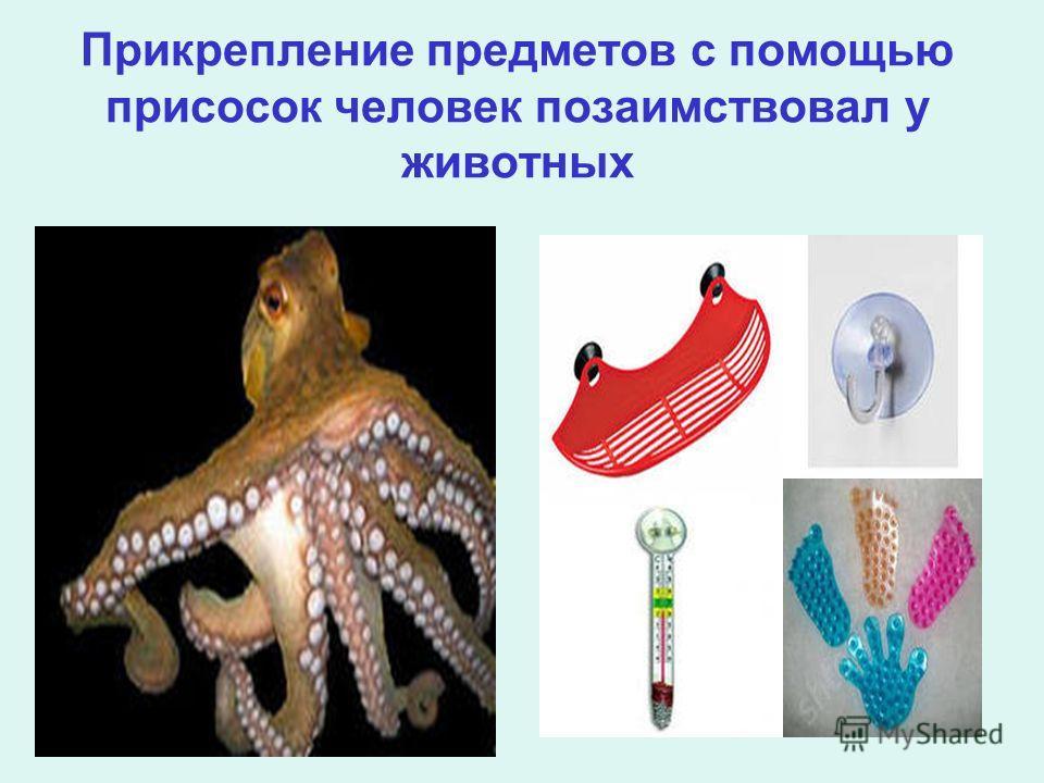 Прикрепление предметов с помощью присосок человек позаимствовал у животных