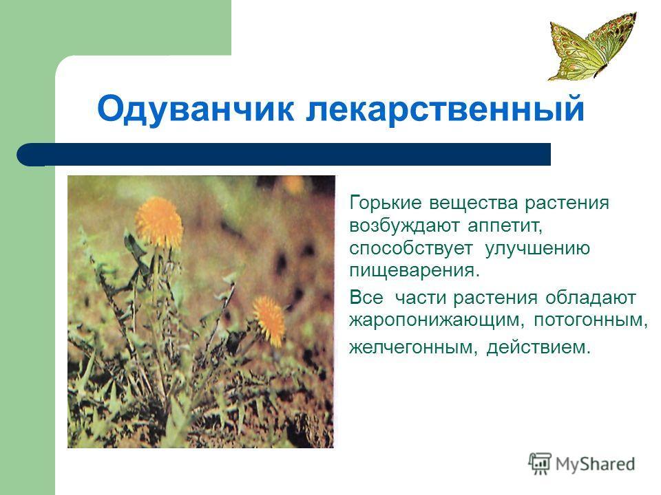 Одуванчик лекарственный Горькие вещества растения возбуждают аппетит, способствует улучшению пищеварения. Все части растения обладают жаропонижающим, потогонным, желчегонным, действием.