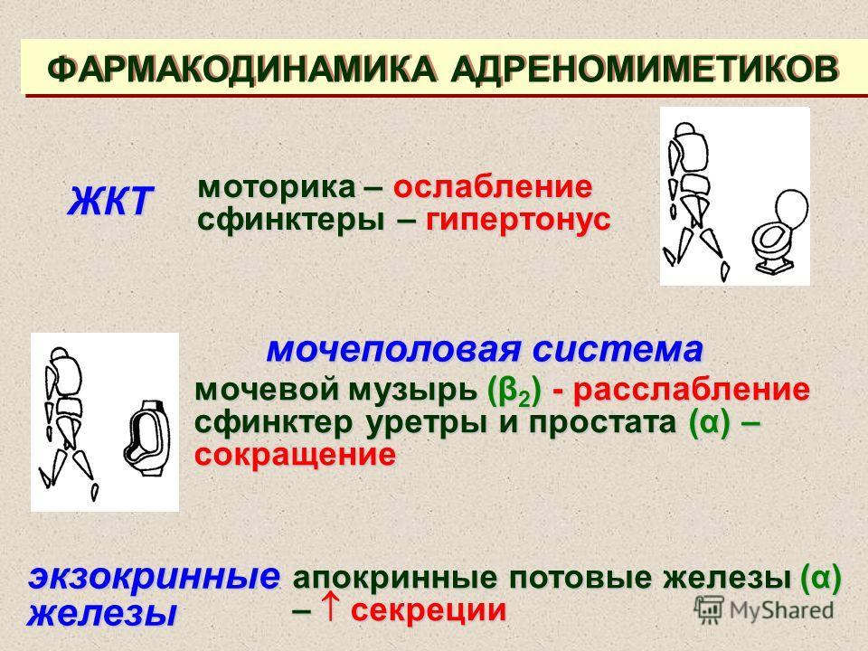 ФАРМАКОДИНАМИКА АДРЕНОМИМЕТИКОВ ЖКТ моторика – ослабление сфинктеры – гипертонус мочеполовая система мочевой музырь (β 2 ) - расслабление сфинктер уретры и простата (α) – сокращение экзокринные железы апокринные потовые железы (α) – секреции