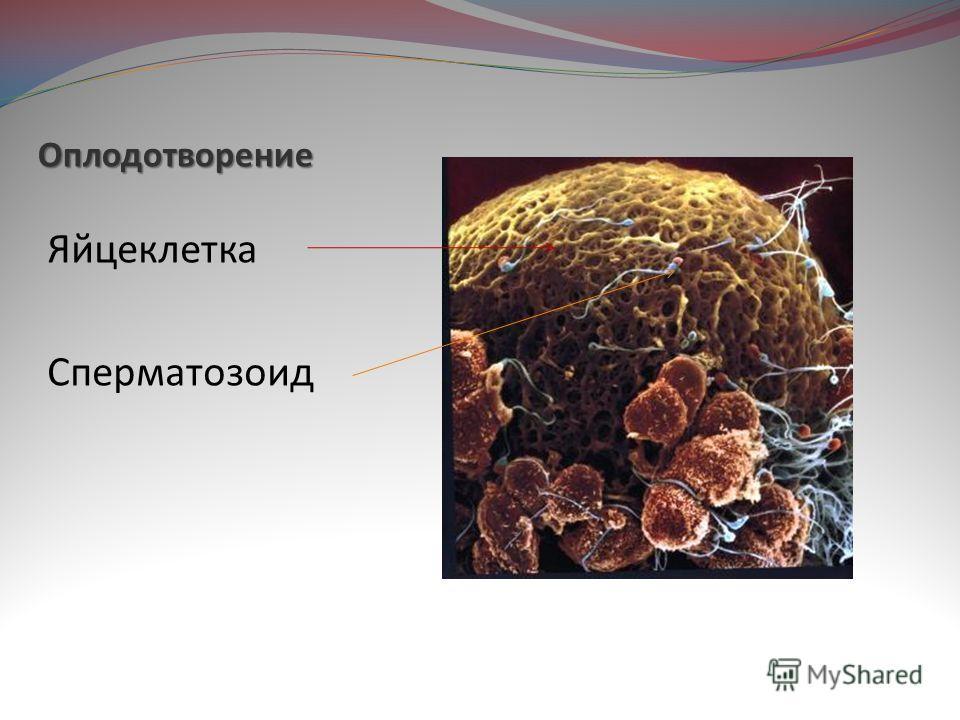 Оплодотворение Яйцеклетка Сперматозоид
