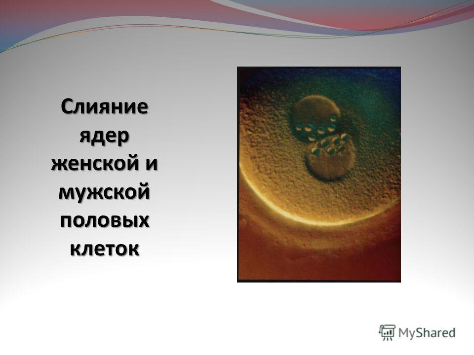 Слияние ядер женской и мужской половых клеток