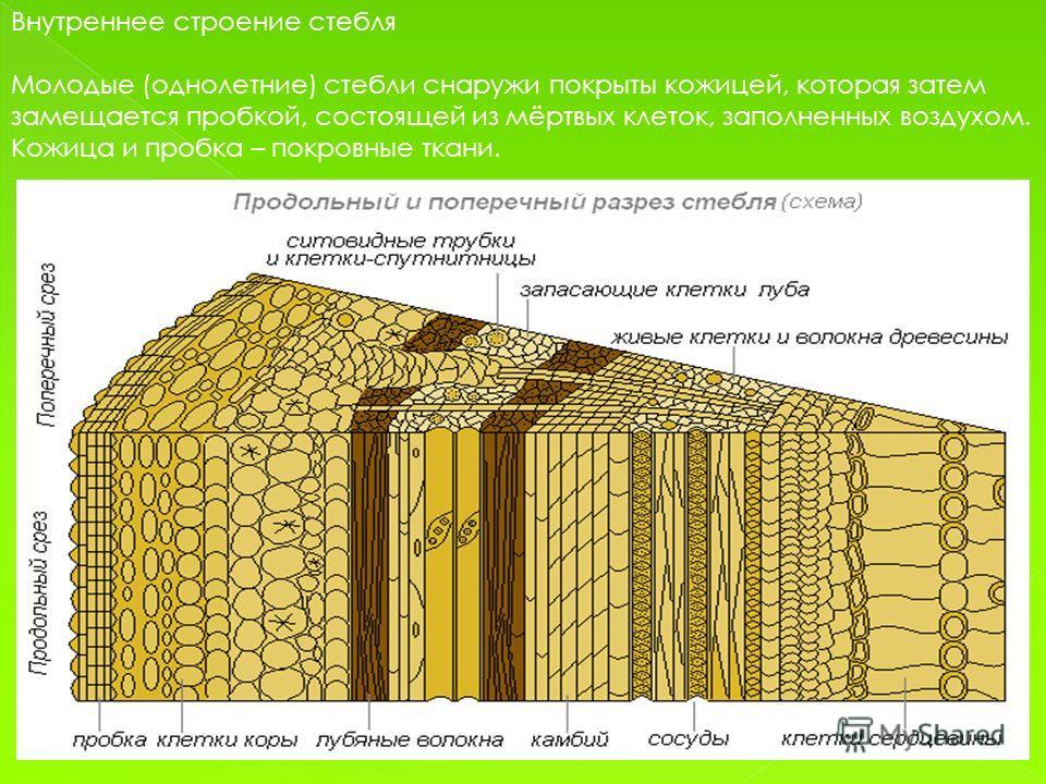 Внутреннее строение стебля Молодые (однолетние) стебли снаружи покрыты кожицей, которая затем замещается пробкой, состоящей из мёртвых клеток, заполненных воздухом. Кожица и пробка – покровные ткани.