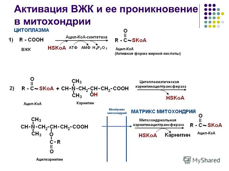 Активация ВЖК и ее проникновение в митохондрии