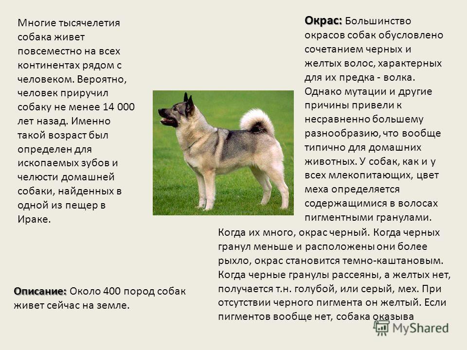 Многие тысячелетия собака живет повсеместно на всех континентах рядом с человеком. Вероятно, человек приручил собаку не менее 14 000 лет назад. Именно такой возраст был определен для ископаемых зубов и челюсти домашней собаки, найденных в одной из пе