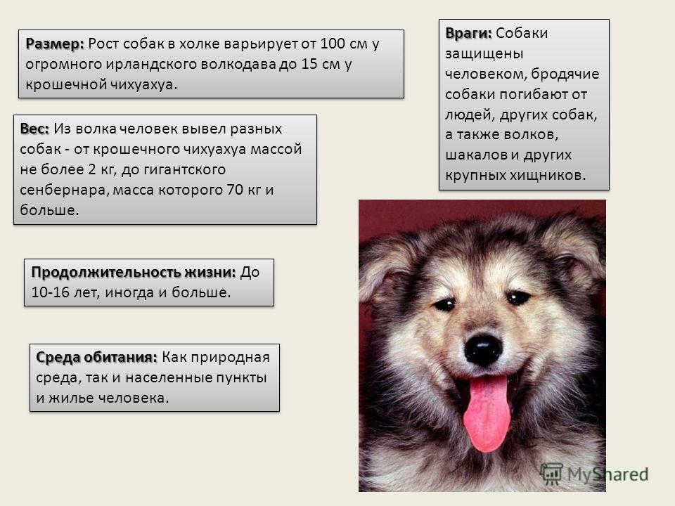 Размер: Размер: Рост собак в холке варьирует от 100 см у огромного ирландского волкодава до 15 см у крошечной чихуахуа. Вес: Вес: Из волка человек вывел разных собак - от крошечного чихуахуа массой не более 2 кг, до гигантского сенбернара, масса кото