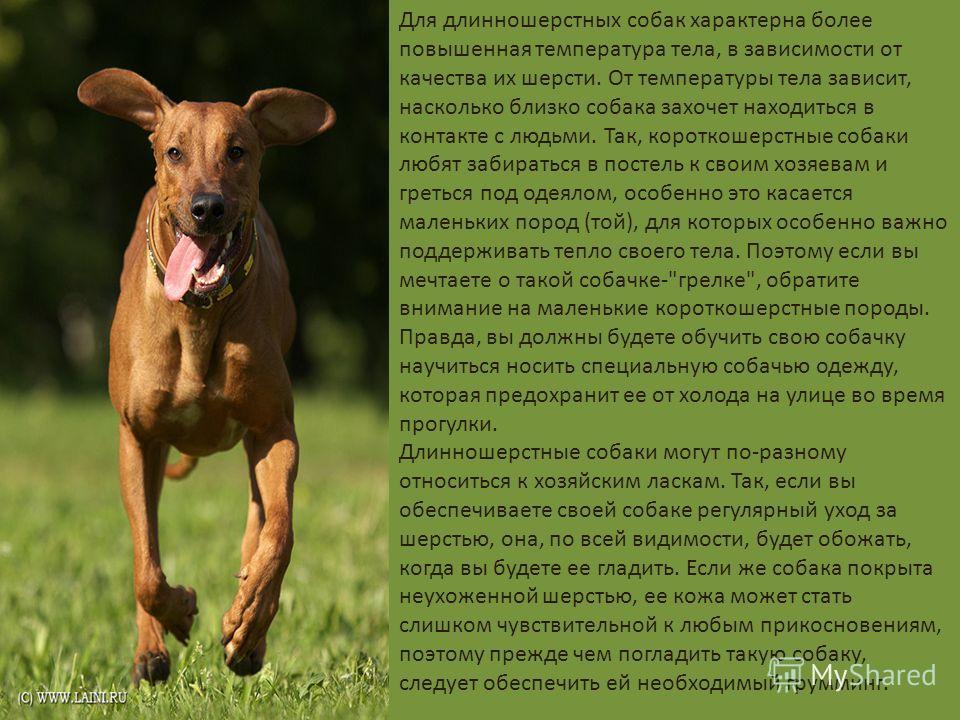 Для длинношерстных собак характерна более повышенная температура тела, в зависимости от качества их шерсти. От температуры тела зависит, насколько близко собака захочет находиться в контакте с людьми. Так, короткошерстные собаки любят забираться в по