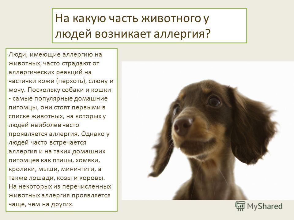 На какую часть животного у людей возникает аллергия? Люди, имеющие аллергию на животных, часто страдают от аллергических реакций на частички кожи (перхоть), слюну и мочу. Поскольку собаки и кошки - самые популярные домашние питомцы, они стоят первыми