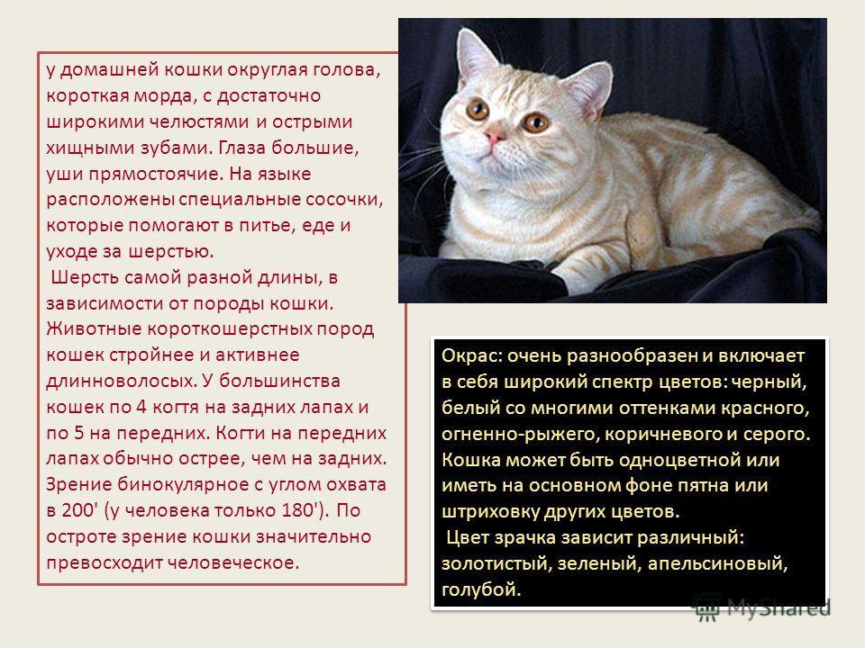 у домашней кошки округлая голова, короткая морда, с достаточно широкими челюстями и острыми хищными зубами. Глаза большие, уши прямостоячие. На языке расположены специальные сосочки, которые помогают в питье, еде и уходе за шерстью. Шерсть самой разн