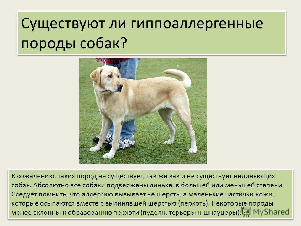 Существуют ли гиппоаллергенные породы собак? К сожалению, таких пород не существует, так же как и не существует нелиняющих собак. Абсолютно все собаки подвержены линьке, в большей или меньшей степени. Следует помнить, что аллергию вызывает не шерсть,