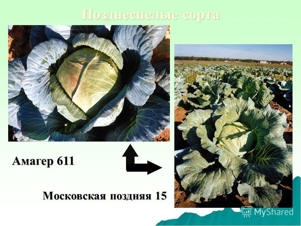 Позднеспелые сорта Амагер 611 Московская поздняя 15