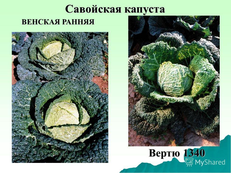 Савойская капуста Вертю 1340 ВЕНСКАЯ РАННЯЯ