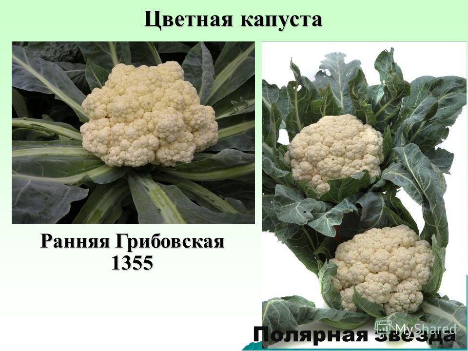 Цветная капуста Ранняя Грибовская 1355 Полярная звезда