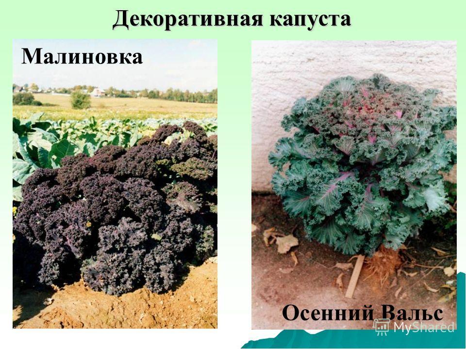 Декоративная капуста Малиновка Осенний Вальс