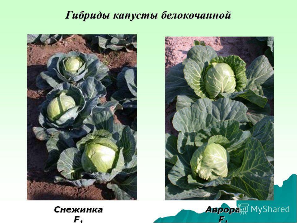 Гибриды капусты белокочанной Снежинка F 1 Аврора F 1