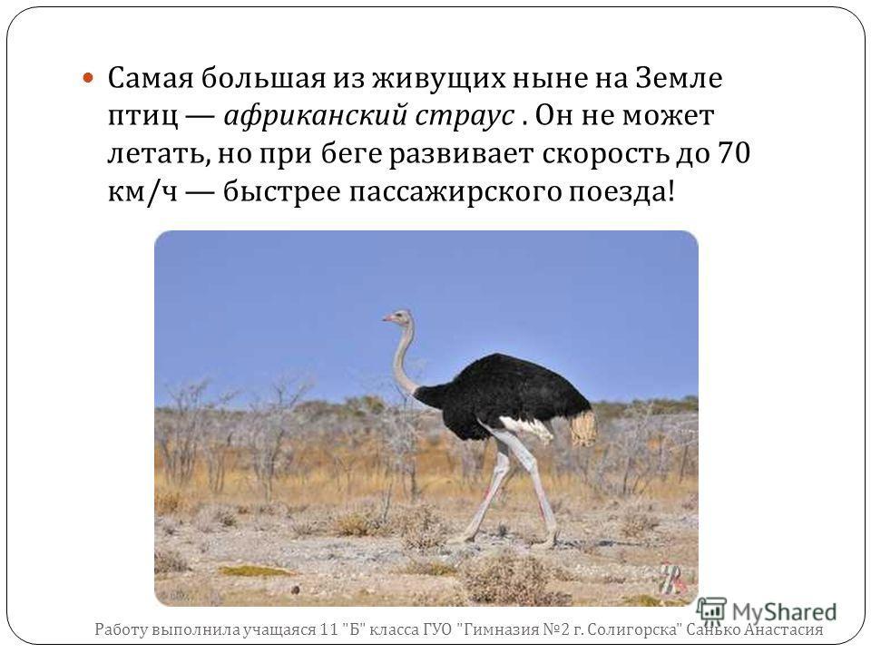 Самая большая из живущих ныне на Земле птиц африканский страус. Он не может летать, но при беге развивает скорость до 70 км / ч быстрее пассажирского поезда ! Работу выполнила учащаяся 11  Б  класса ГУО  Гимназия 2 г. Солигорска  Санько Анастасия