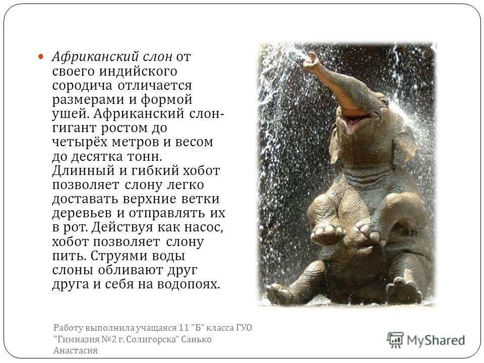 Африканский слон от своего индийского сородича отличается размерами и формой ушей. Африканский слон - гигант ростом до четырёх метров и весом до десятка тонн. Длинный и гибкий хобот позволяет слону легко доставать верхние ветки деревьев и отправлять