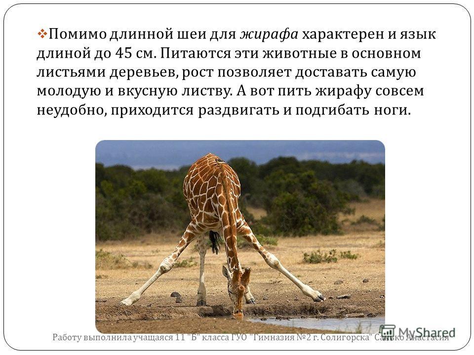 Помимо длинной шеи для жирафа характерен и язык длиной до 45 см. Питаются эти животные в основном листьями деревьев, рост позволяет доставать самую молодую и вкусную листву. А вот пить жирафу совсем неудобно, приходится раздвигать и подгибать ноги. Р