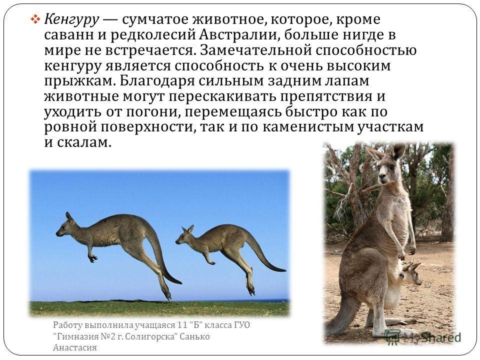 Кенгуру сумчатое животное, которое, кроме саванн и редколесий Австралии, больше нигде в мире не встречается. Замечательной способностью кенгуру является способность к очень высоким прыжкам. Благодаря сильным задним лапам животные могут перескакивать