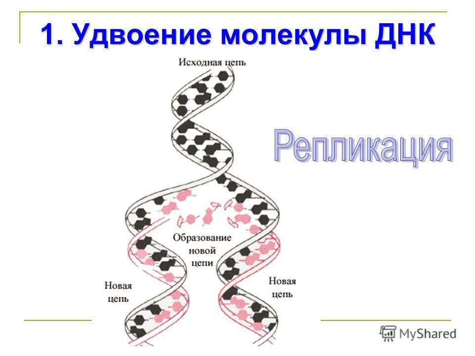 1. Удвоение молекулы ДНК