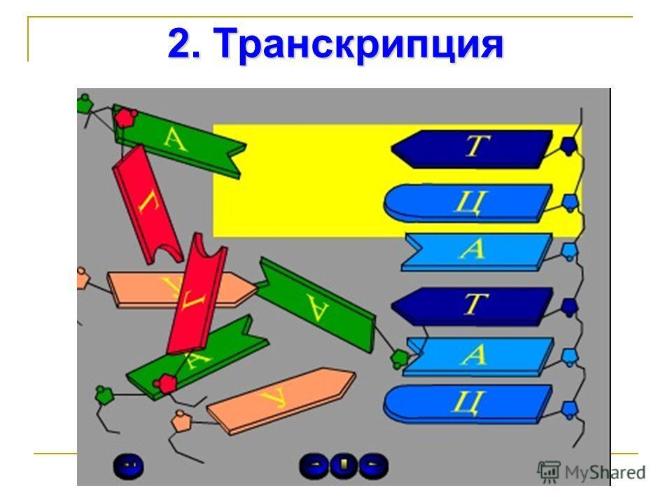 2. Транскрипция