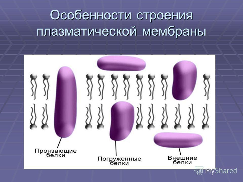 Особенности строения плазматической мембраны