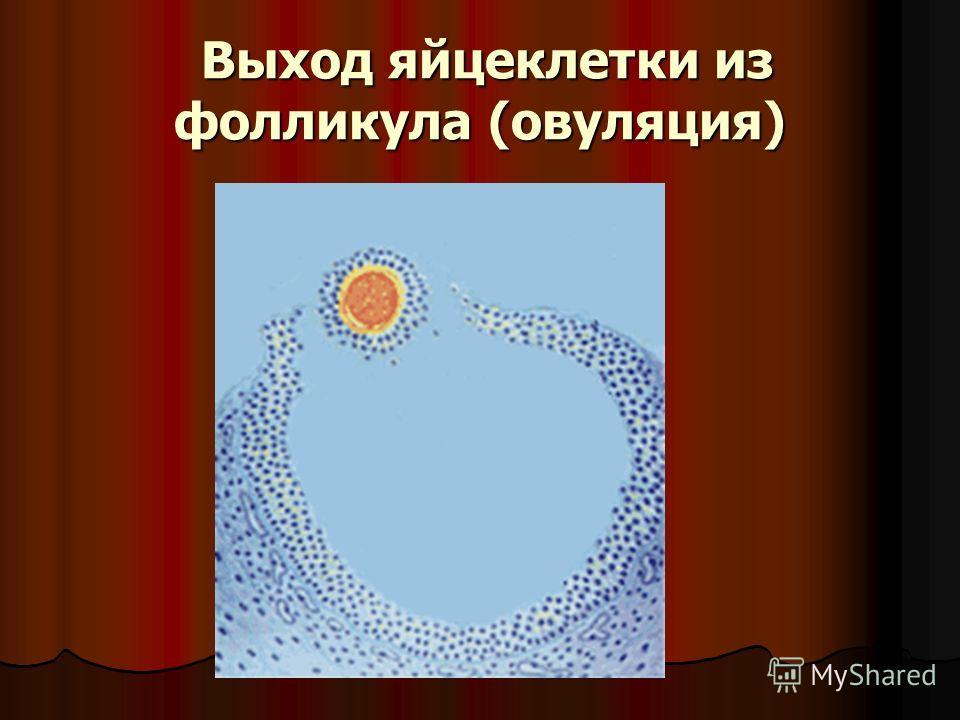 Выход яйцеклетки из фолликула (овуляция) Выход яйцеклетки из фолликула (овуляция)