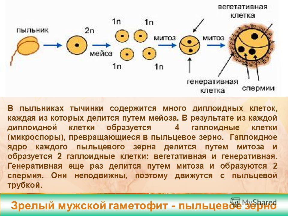 Зрелый мужской гаметофит - пыльцевое зерно Формирование спермиев В пыльниках тычинки содержится много диплоидных клеток, каждая из которых делится путем мейоза. В результате из каждой диплоидной клетки образуется 4 гаплоидные клетки (микроспоры), пре